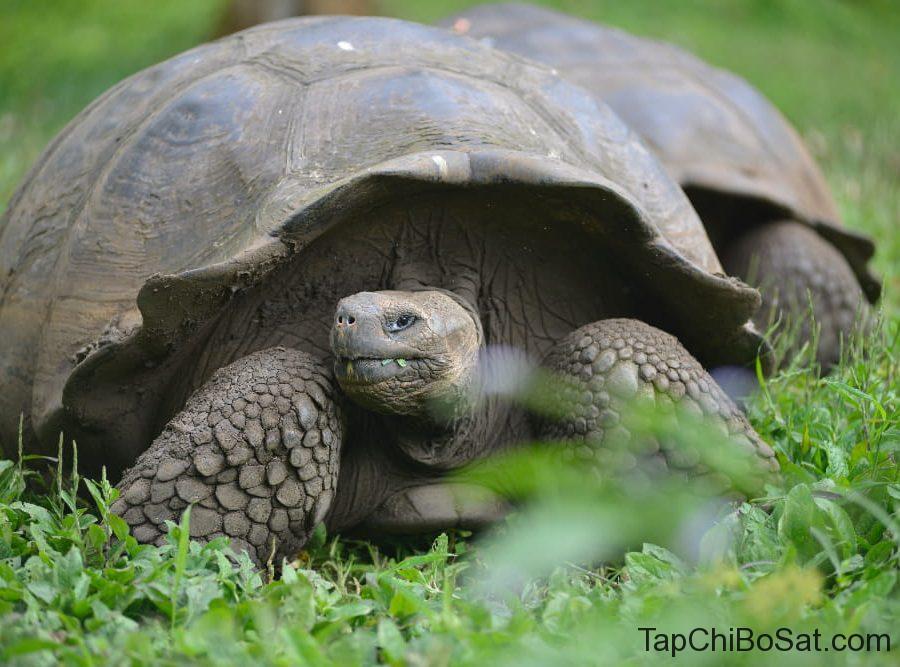 tortoise of galapagos
