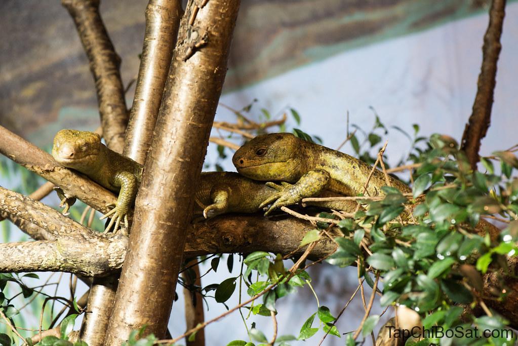 chuồng nuôi thằn lằn đuôi khỉ - Monkey-tailed Skink