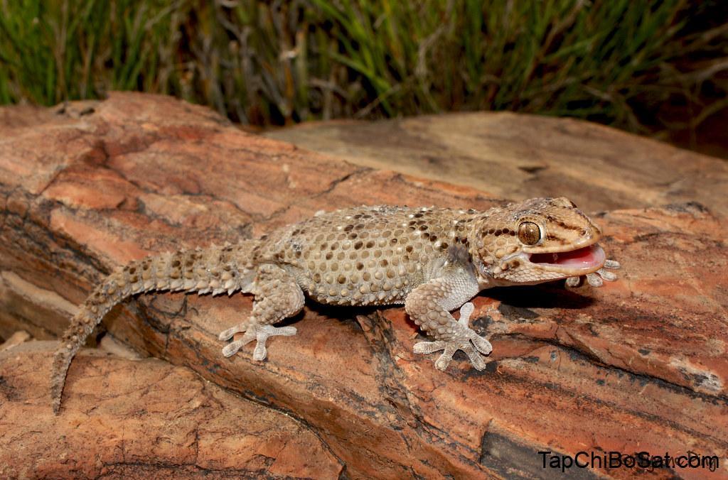 Image result for Bibron's Gecko