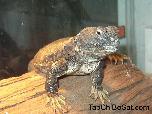 Image result for mali uromastyx