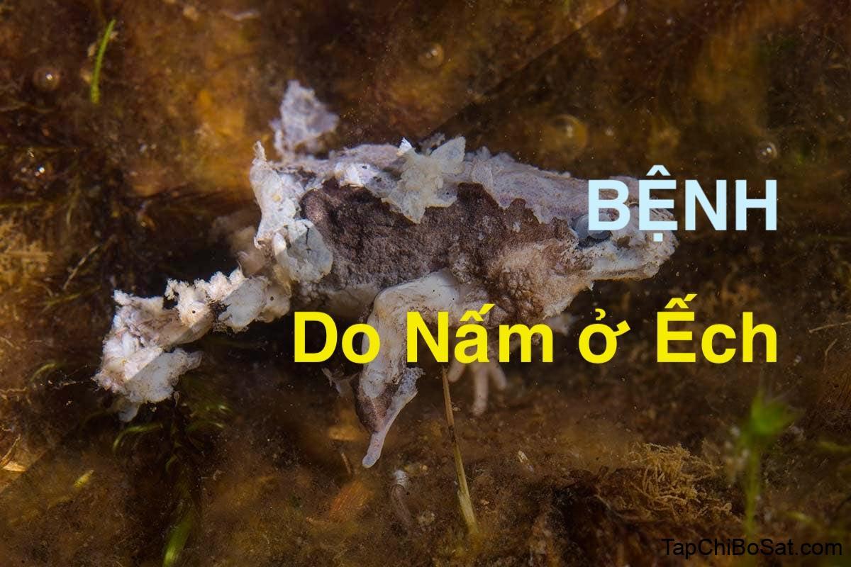 Photo of Bệnh do nấm ở ếch nuôi