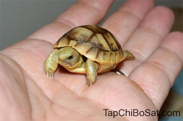 Rùa Nga baby