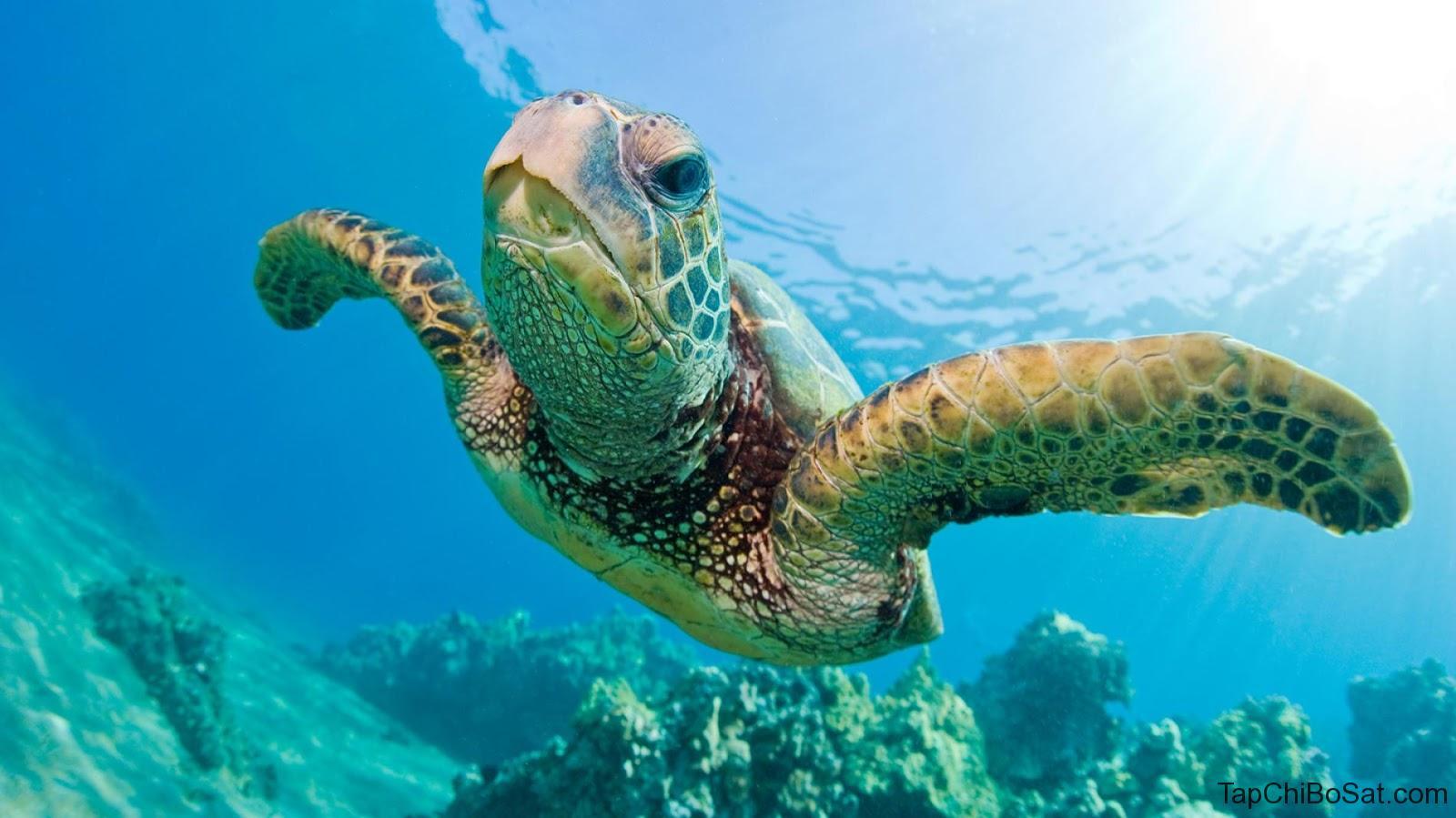 Rùa biển xanh- Green Sea Turtle