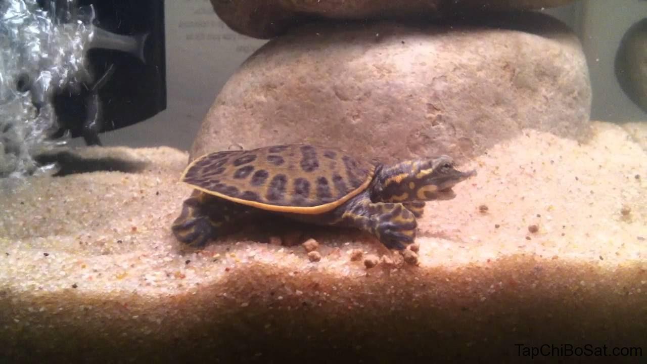 bể nuôi rùa vỏ mềm Florida từ 100 lít, với ⅔ là nước