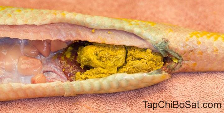 Phẫu thuật trị táo bón cho rắn