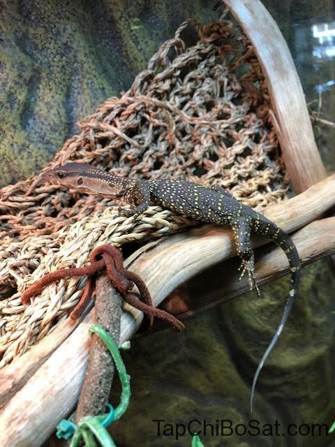 """Image result for Black Rough-Necked Monitor"""""""