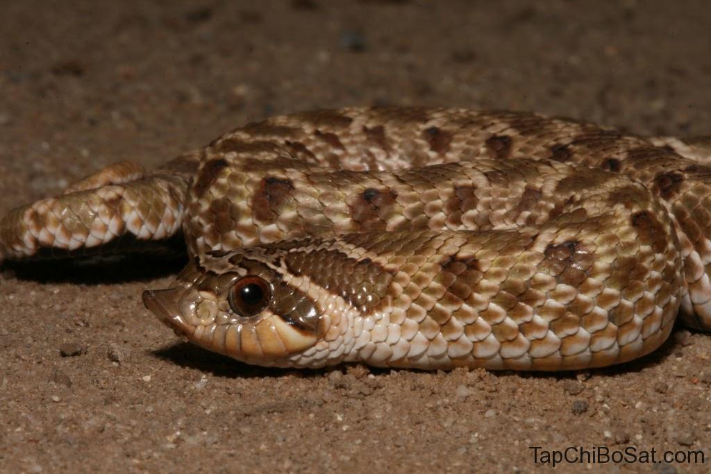 rắn Hognose Bắc Mỹ hay rắn zombie hoặc rắn mũi hếch