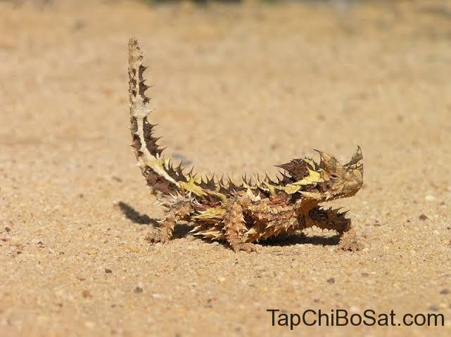 Thằn lằn quỷ gai thích nghi với điều kiện sống khô cằn trên các sa mạc ở Australia