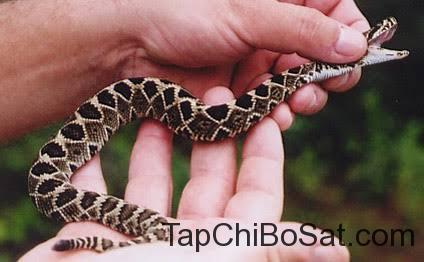 Rắn đuôi chuông lưng kim cương- eastern diamondback rattlesnake baby