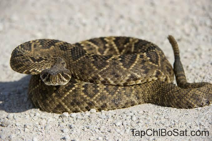 Rắn đuôi chuông lưng kim cương- Eastern Diamondback Rattlesnake.
