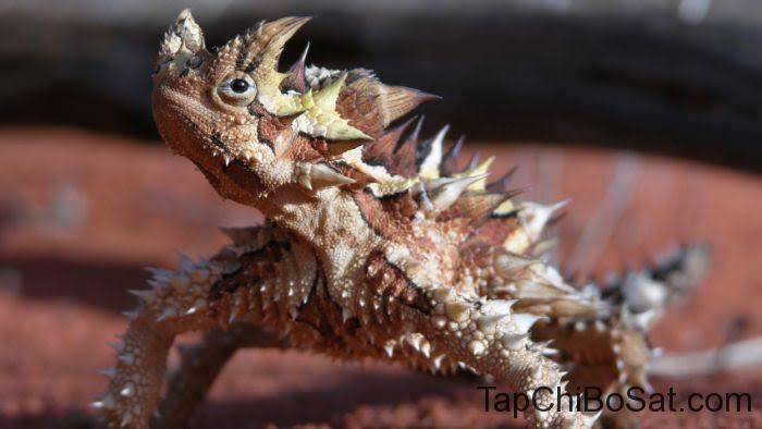 "Image result for thorny devil"""