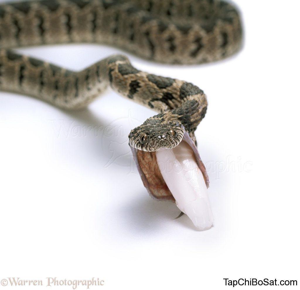 rắn bị trào ngược thức ăn