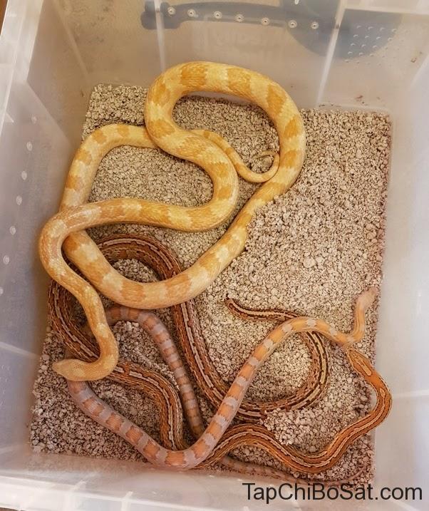 Chất nền là một trong những nguyên nhân gây ve ở rắn