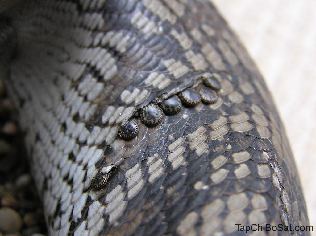 rắn bị bọ ve