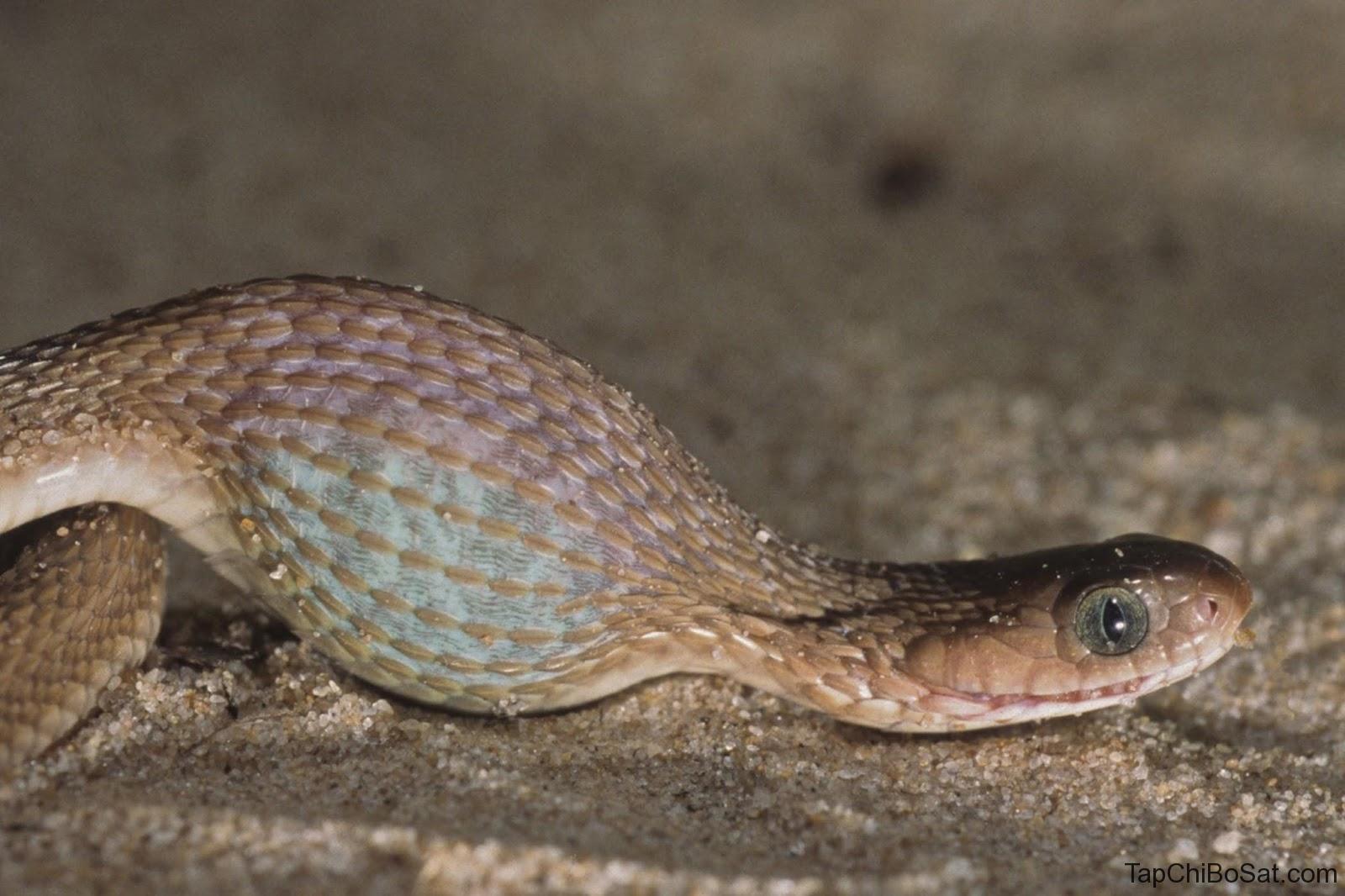 Bệnh thể vùi ở rắn cảnh