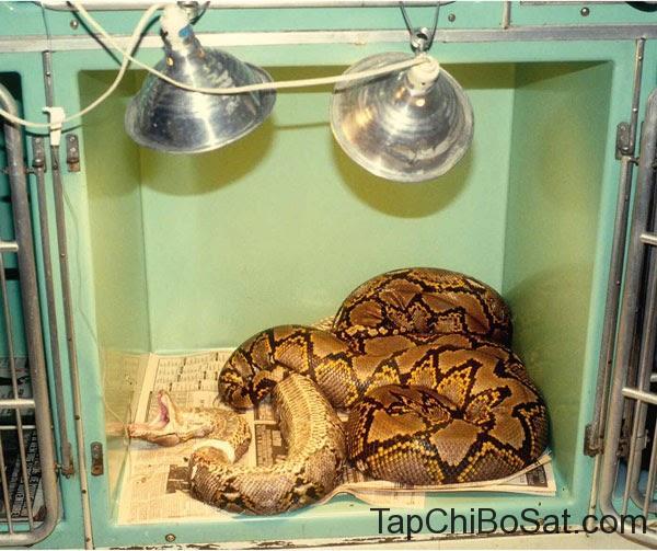 điều trị bệnh thể vùi ở rắn cảnh