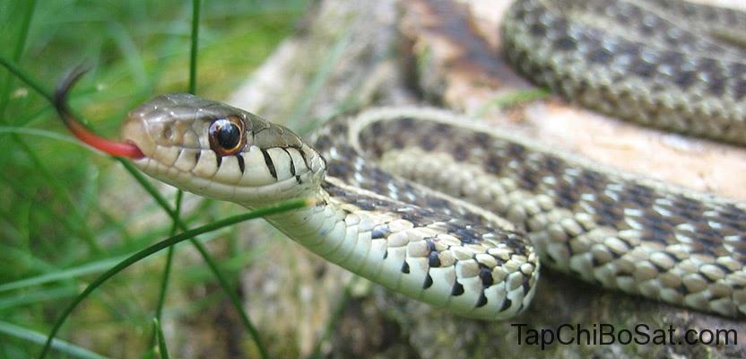 rắn bị mất nước
