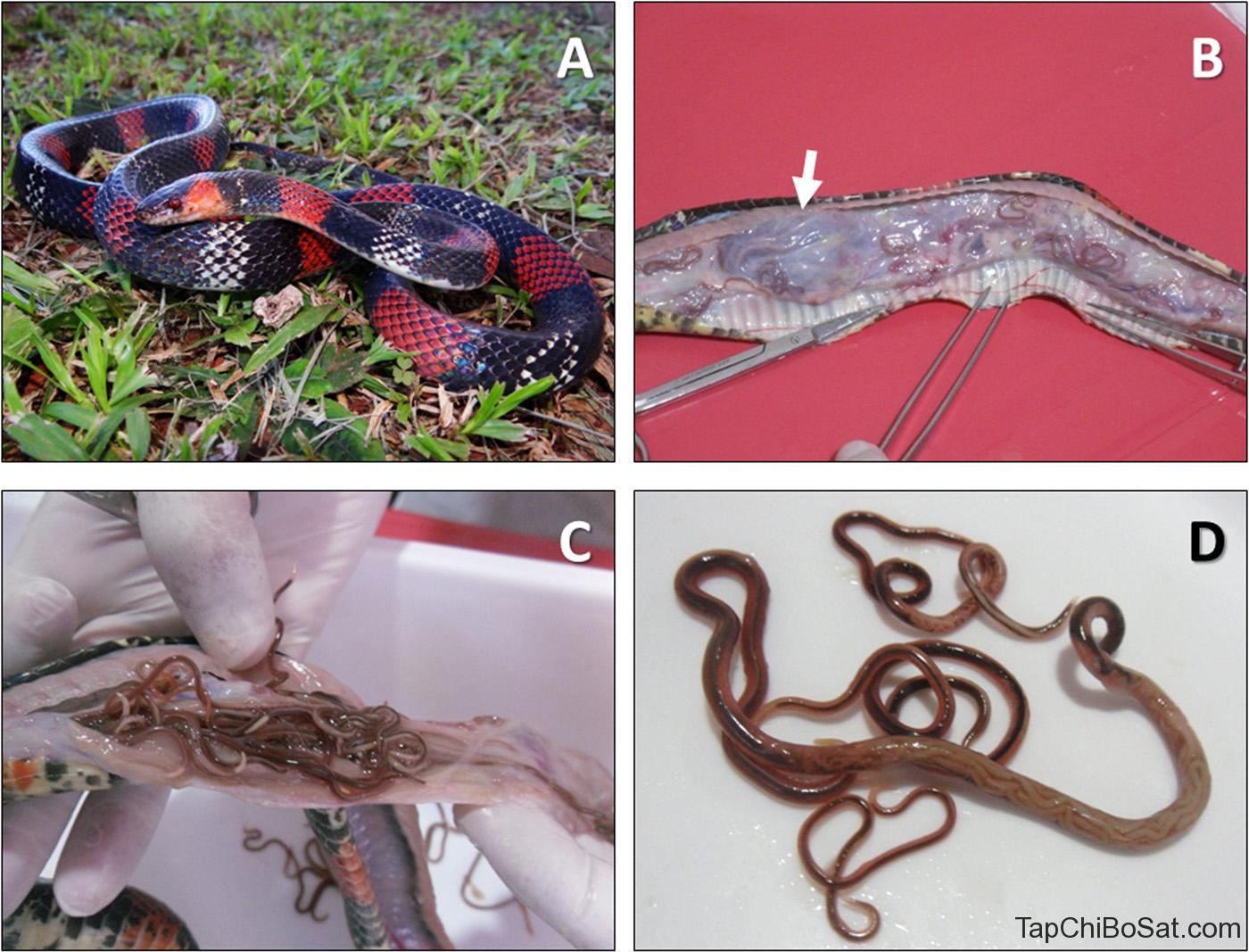 rắn với vô số giun trong dạ dày
