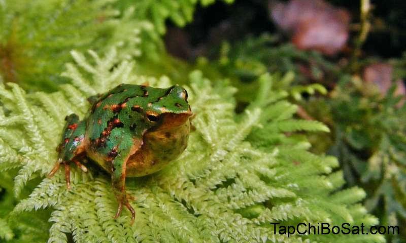 ếch nuôi cảnh