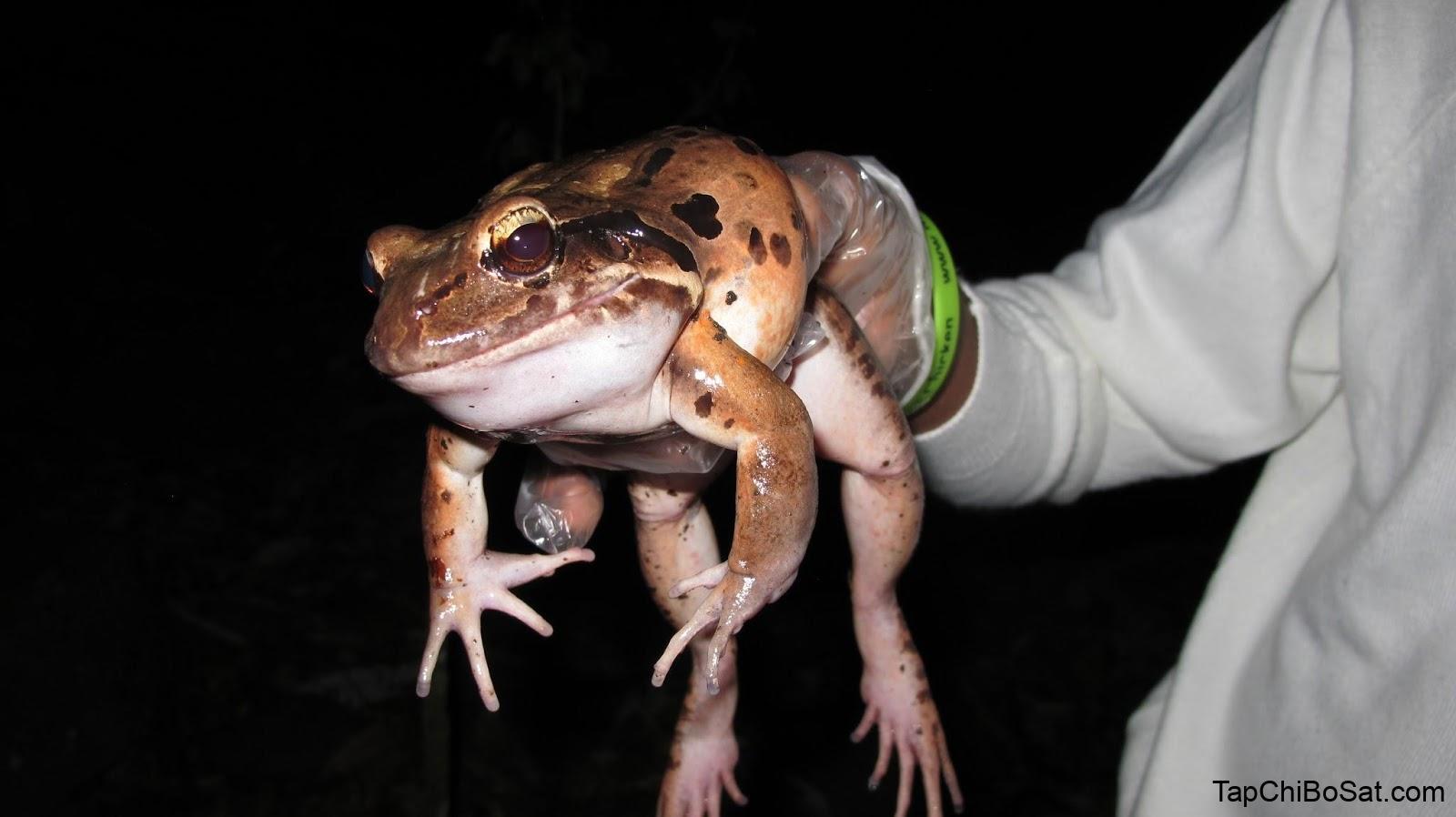 trị bệnh do vi khuẩn cho ếch