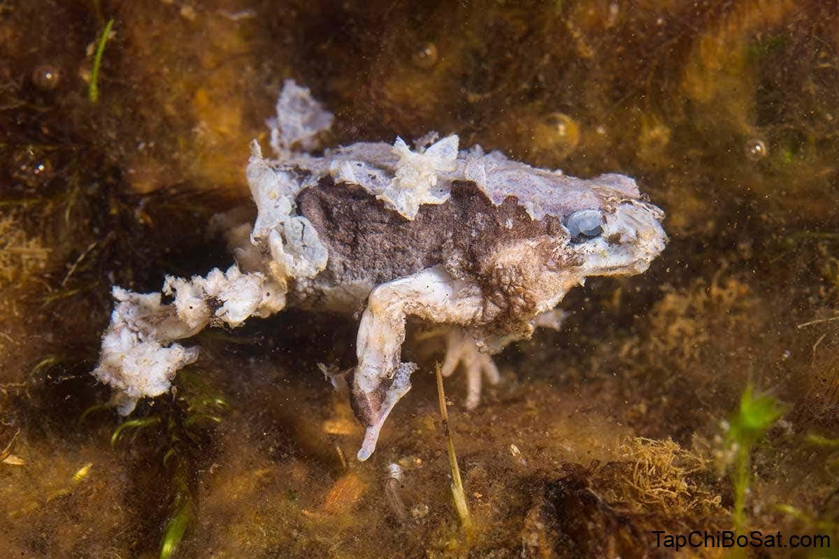 ếch bị bệnh do nấm