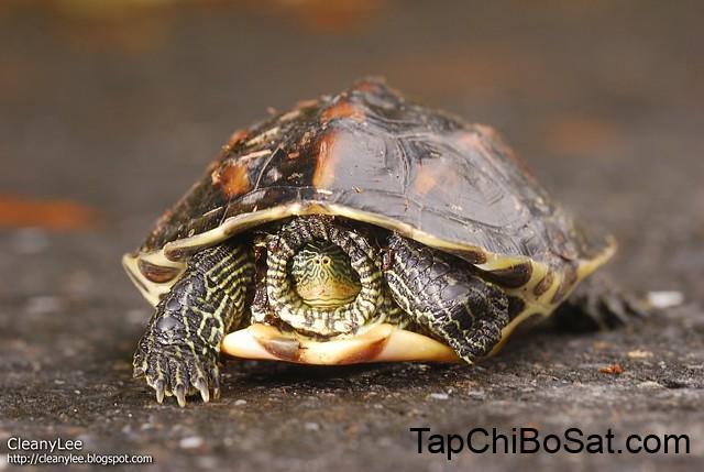 Rùa cổ sọc trưởng thành