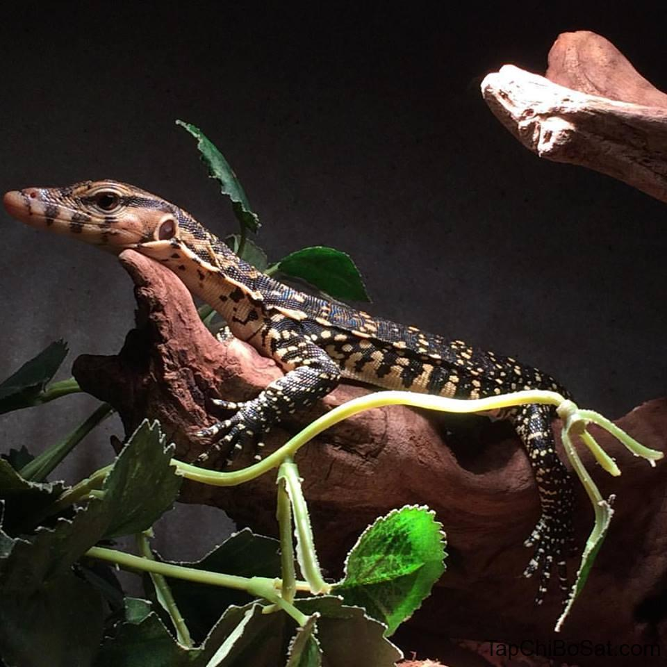 Image result for Asian Water Monitor