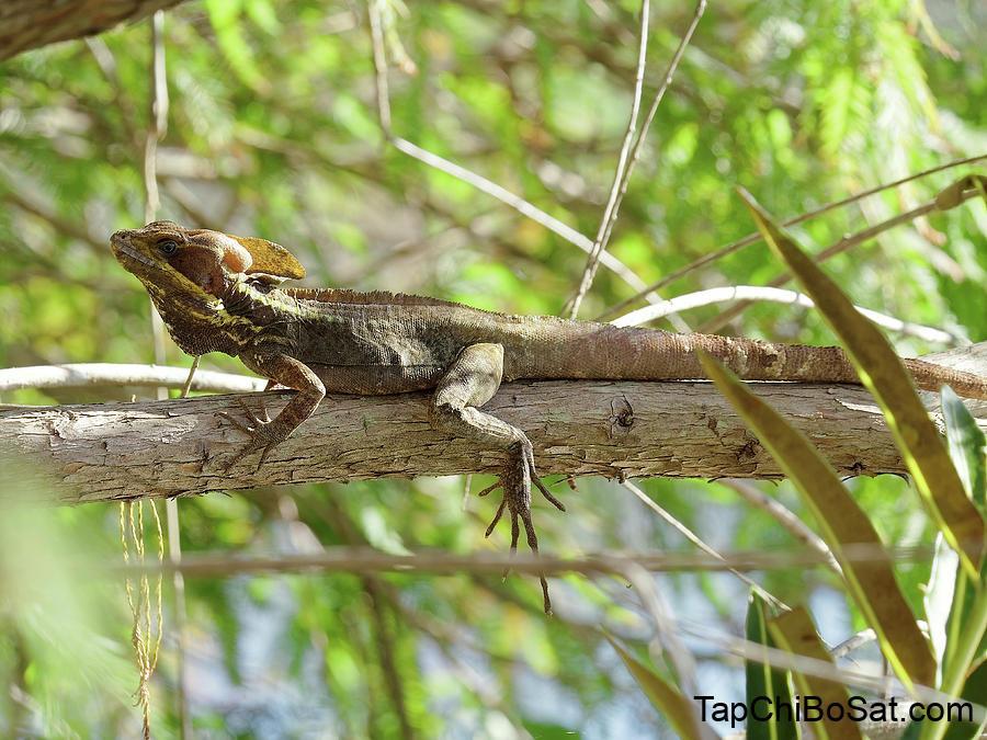 brown basilisk có thể chạy trên mặt nước