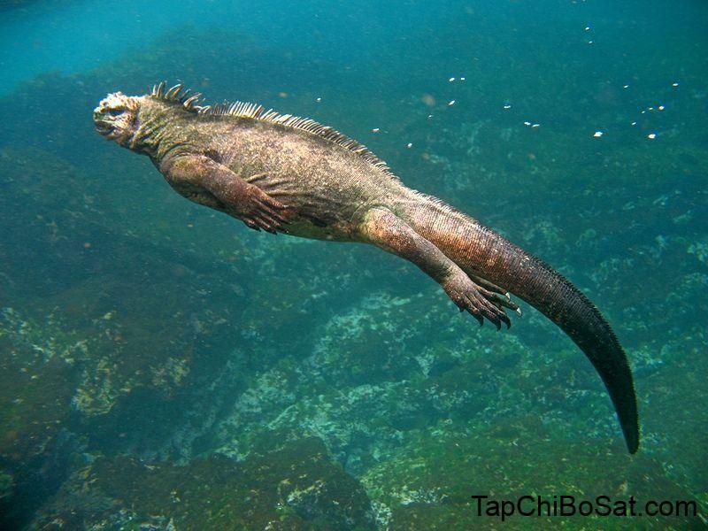 Image result for marine iguana