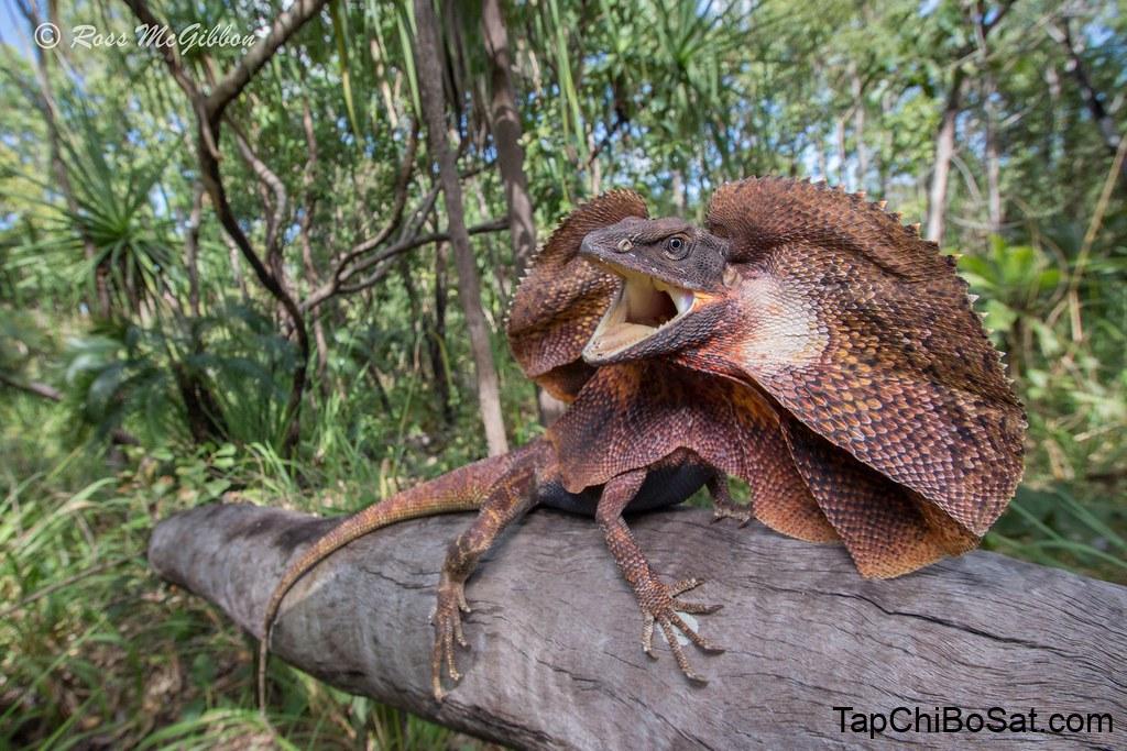 Image result for chlamydosaurus kingii
