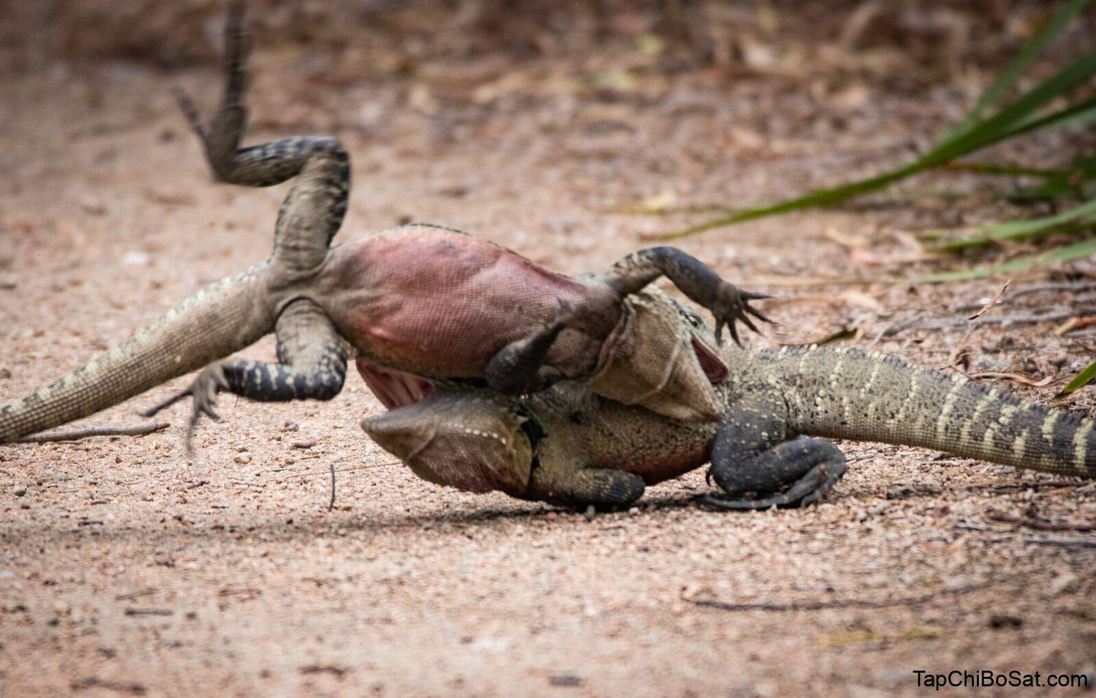 Australian water dragon- Trận chiến của hai chú rồng nước ở Warriewood Wetlands, thuộc bờ biển Bắc Sydney.