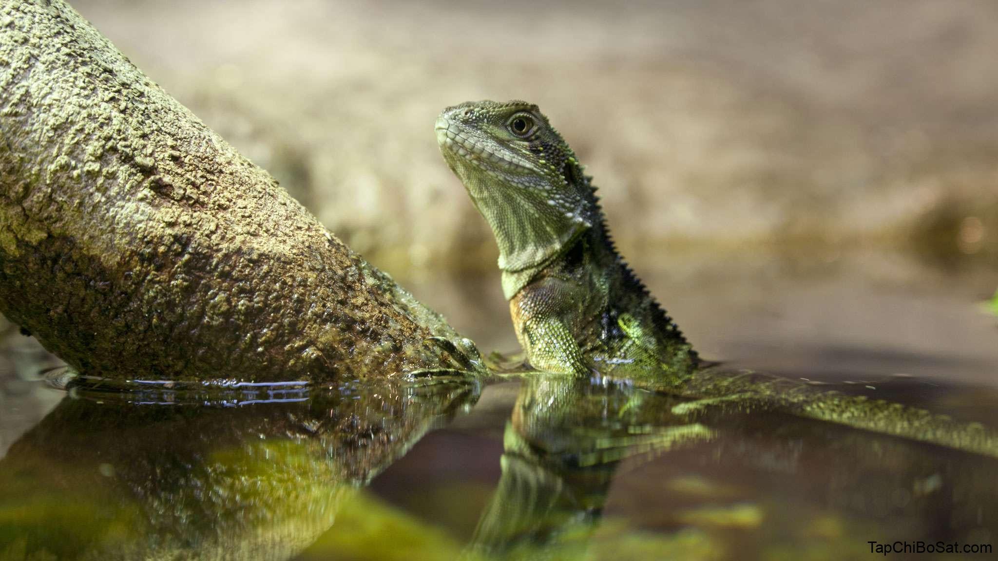 Australian water dragon- Rồng nước Úc
