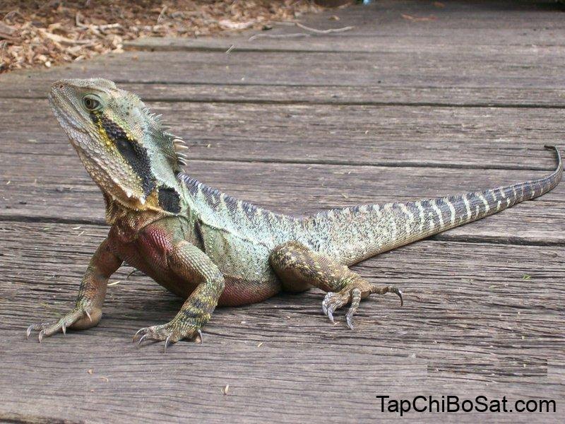 Image result for australian water dragon cage
