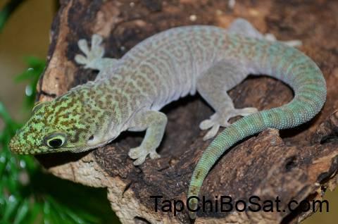 Standing's Day Gecko có tính lãnh thổ cao