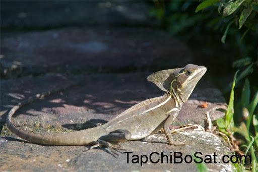 brown basilisk có mào ba phần trên đầu, dọc theo lưng và trải dài đến đuôi