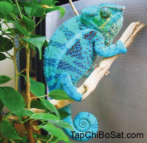 Image result for Panther chameleon