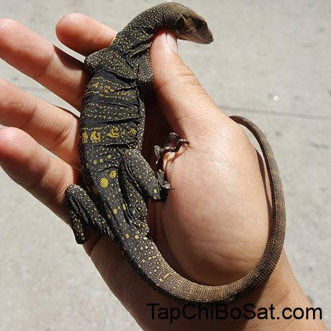 Image result for Spiny-Necked Monitor