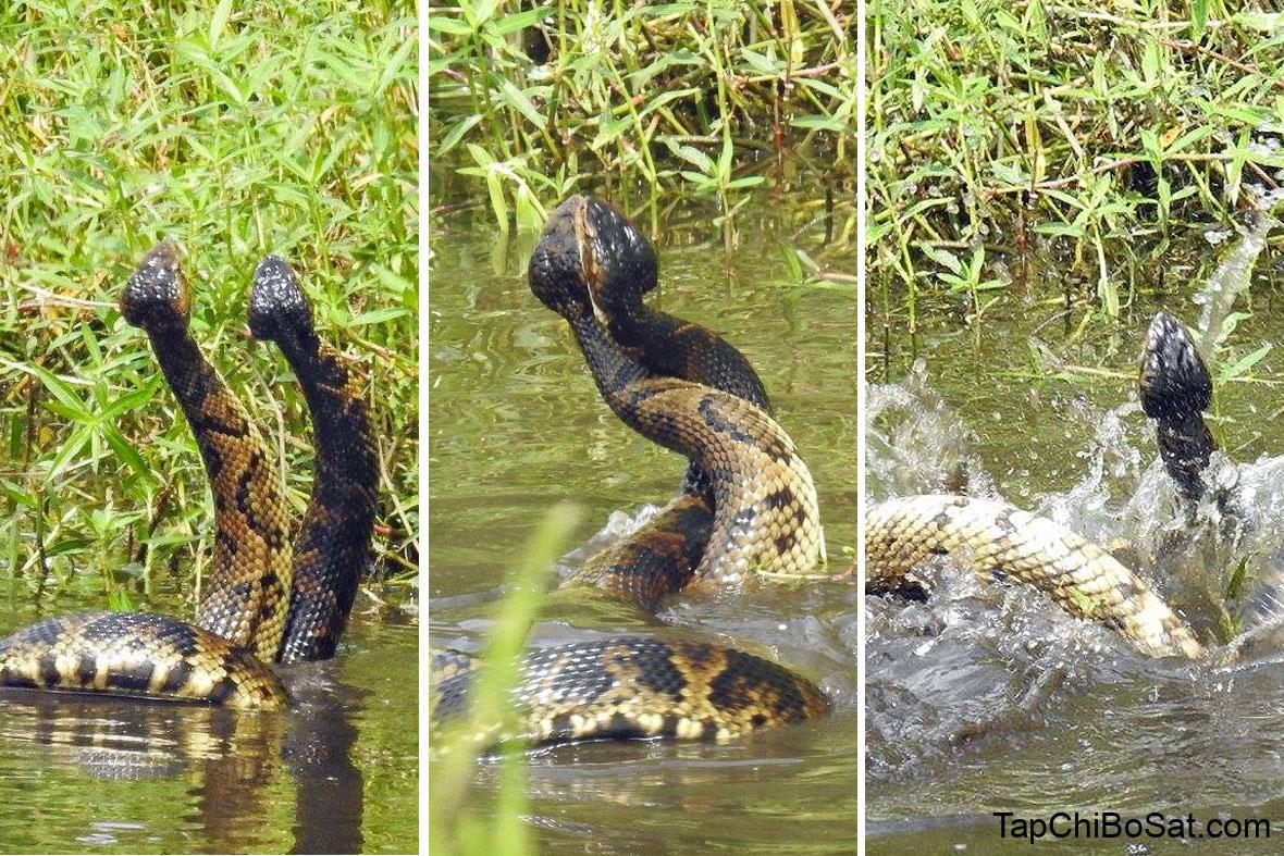 Rắn hổ mang nước trong mùa giao phối- cottonmouth snake mating