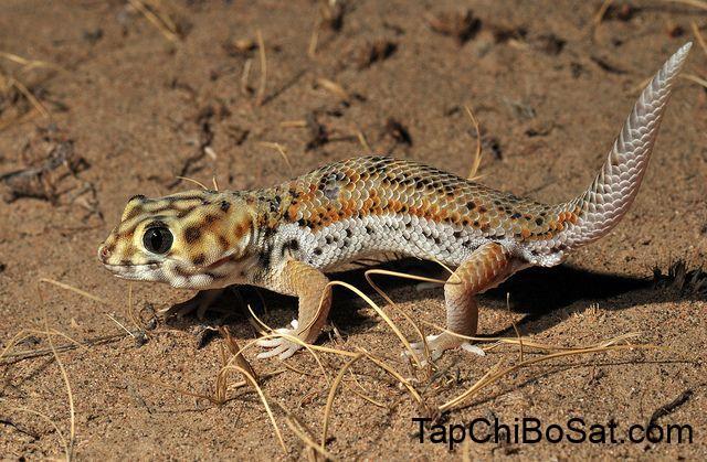 Tắc kè mắt ếch- Frog- Eye Gecko
