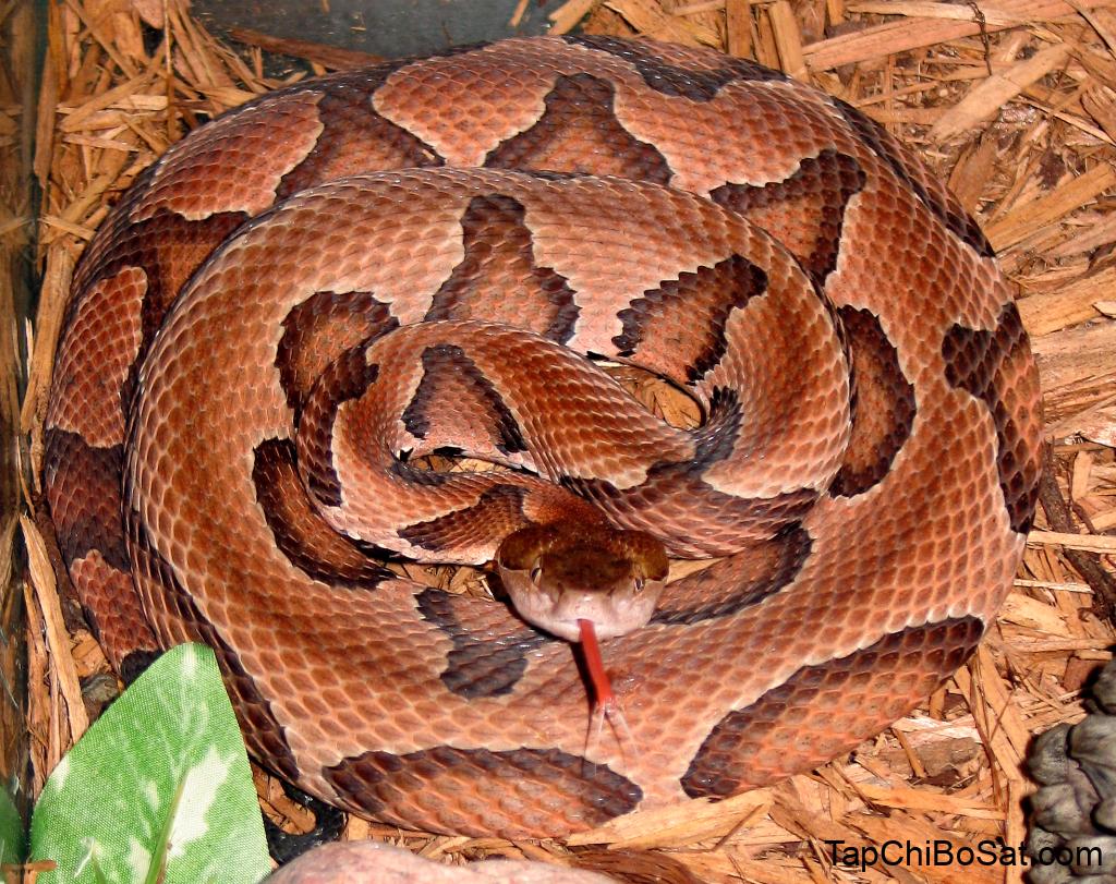 Rắn đầu đồng Bắc Mỹ – Northern Copperhead snake