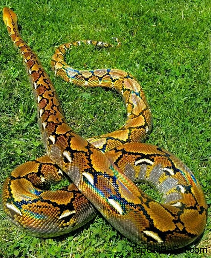 Trăn Lưới – Reticulated Python