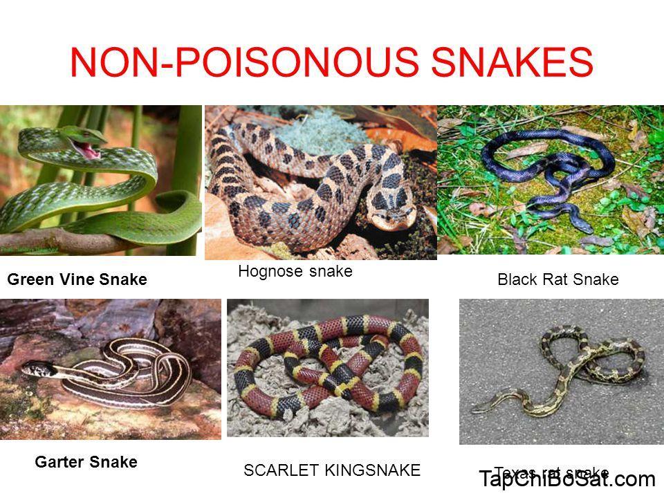 Nhận diện rắn lành tính và rắn độc