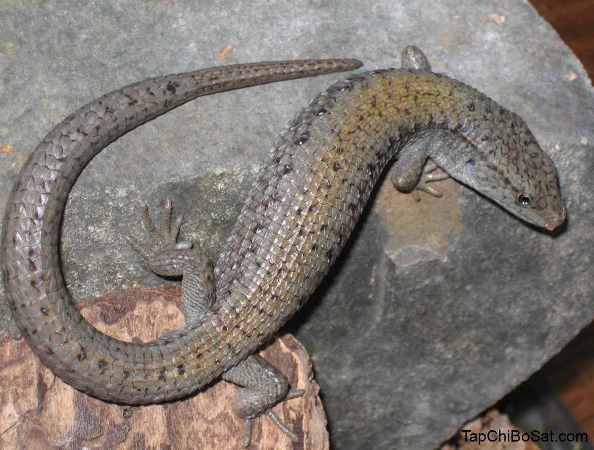 Thằn lằn cá sấu Bắc Mỹ – Northern Alligator Lizard