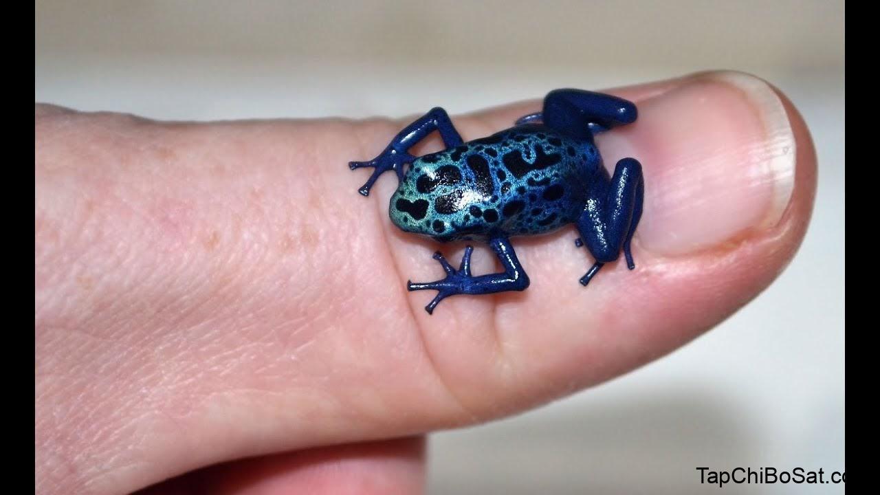 ếch phi tiêu độc được các chuyên gia ưa chuộng