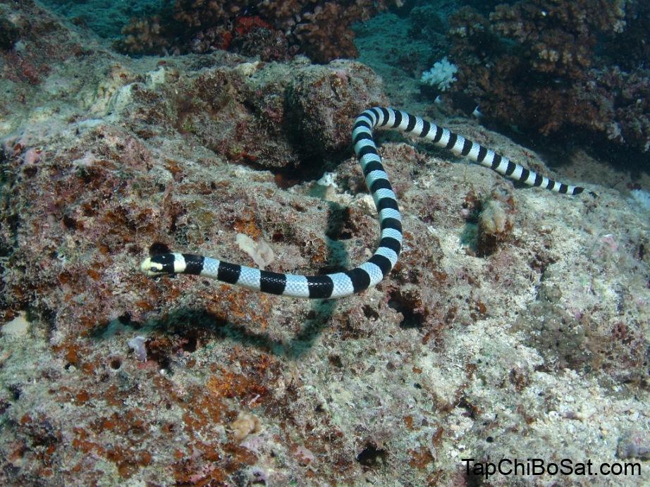 Rắn cạp nia biển – Sea Snake