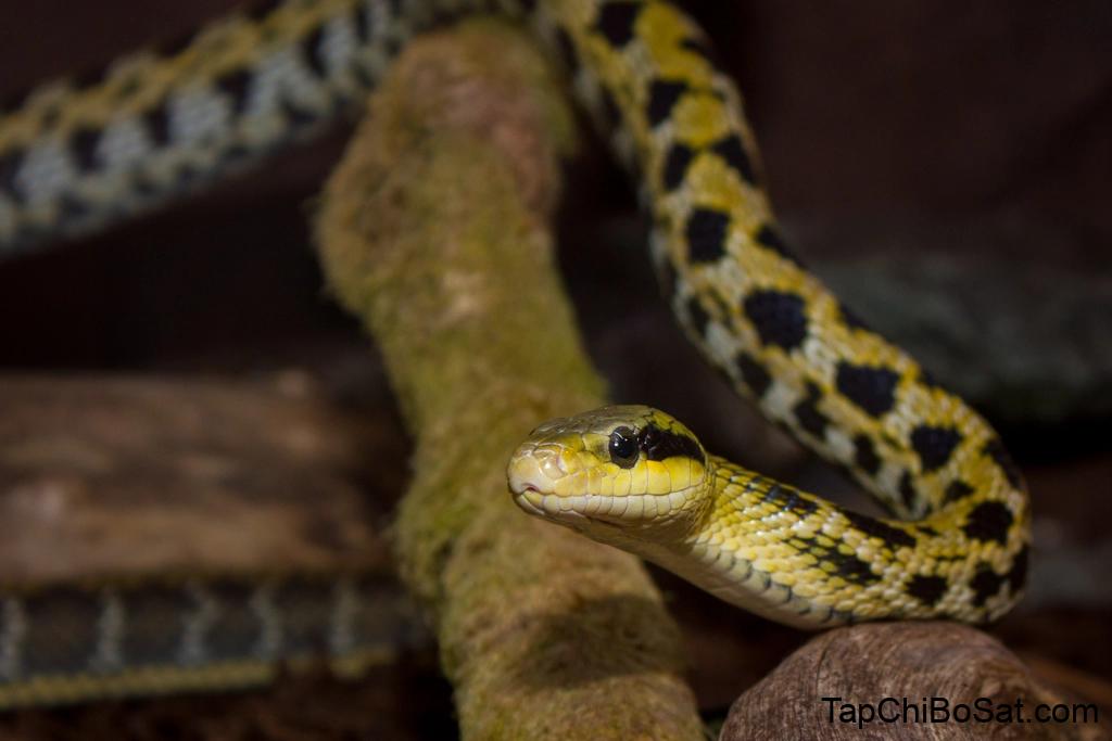 Rắn Đài Loan – Taiwan beauty snake