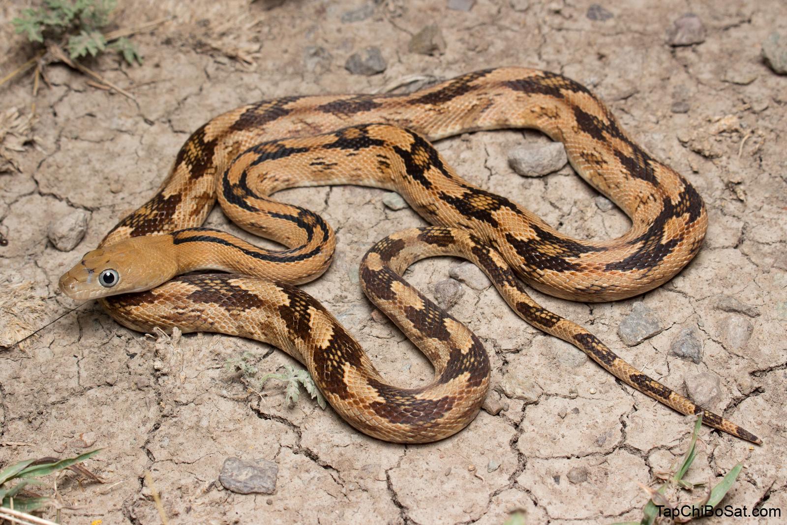 rắn chuột Trans-Pecos