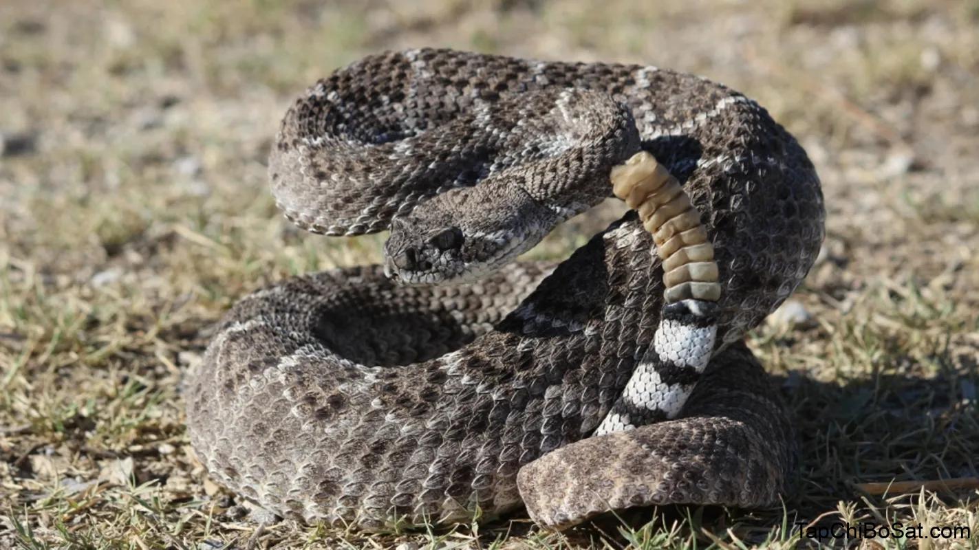 Rắn đuôi chuông kim cương Tây Mỹ – Western Diamondback Rattlesnake