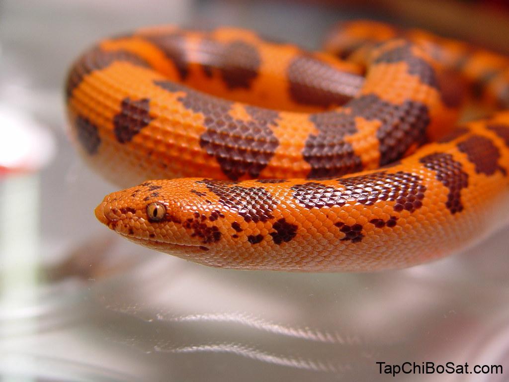 Flame kenya sand boa | new color phase. beautiful | venwu225 | Flickr