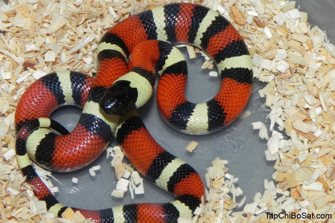 Pueblan Milk Snake for sale | Snakes at Sunset